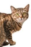 Gato de gato atigrado joven Fotos de archivo libres de regalías