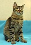 Gato de gato atigrado joven hermoso imagenes de archivo