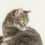 Gato de gato atigrado joven que mira un insecto (instinto de la caza) Foto de archivo libre de regalías