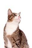 Gato de gato atigrado juguetón en blanco Foto de archivo