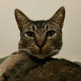 Gato de gato atigrado lindo Fotografía de archivo