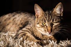 Gato de gato atigrado lindo en fondo negro Foto de archivo