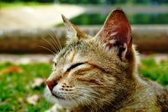 Gato de gato atigrado medio dormido Imagen de archivo libre de regalías