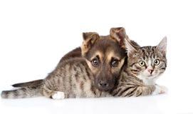 Gato de gato atigrado mezclado del abarcamiento del perro de la raza Aislado en el fondo blanco imágenes de archivo libres de regalías