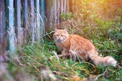 Gato de gato atigrado mullido del jengibre que camina cerca de la cerca de madera vieja Fotografía de archivo libre de regalías