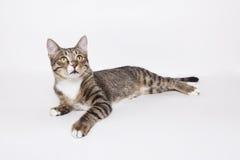 Gato de gato atigrado nacional que miente en el blanco Imagen de archivo libre de regalías