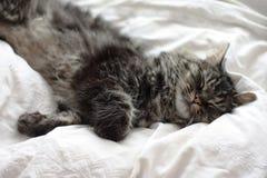Gato de gato atigrado negro y marrón de pelo largo muy lindo que miente en un fondo blanco Foto de archivo
