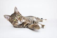 Gato de gato atigrado que miente en el blanco Fotos de archivo libres de regalías