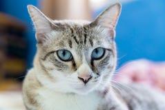 Gato de gato atigrado que mira a la cámara Imágenes de archivo libres de regalías