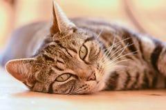Gato de gato atigrado que pone en piso Imagenes de archivo