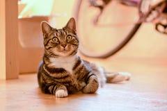 Gato de gato atigrado que pone en piso Fotos de archivo