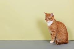 Gato de gato atigrado rojo en fondo verde Imágenes de archivo libres de regalías