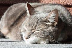 Gato de gato malhado Foto de Stock Royalty Free