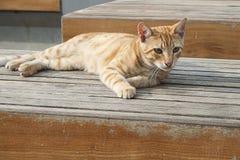 Gato de gato malhado alaranjado Imagem de Stock