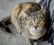 Gato de gato malhado assustado na busca do abrigo Fotografia de Stock Royalty Free