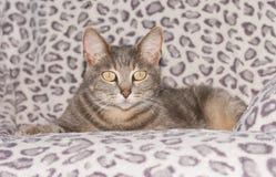 Gato de gato malhado azul bonito em uma cadeira Fotos de Stock Royalty Free