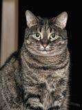 Gato de gato malhado bonito Imagens de Stock Royalty Free