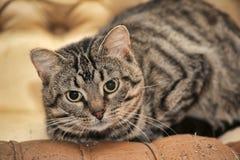 Gato de gato malhado bonito Imagem de Stock Royalty Free