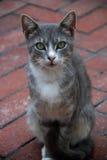 Gato de gato malhado cinzento com olhos verdes Fotografia de Stock Royalty Free