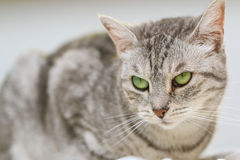Gato de gato malhado de prata que senta-se em uma cama Imagens de Stock Royalty Free