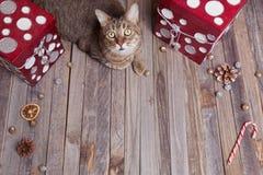 Gato de gato malhado do feriado Imagens de Stock