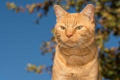 Gato de gato malhado do gengibre contra o fundo do carvalho Imagem de Stock