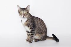 Gato de gato malhado doméstico Fotos de Stock Royalty Free