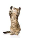 Gato de gato malhado engraçado brincalhão que está nos pés traseiros Isolado no branco Fotografia de Stock