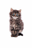 Gato de gato malhado macio adorável Fotos de Stock