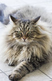 Gato de gato malhado marrom doce que encontra-se no assoalho, raça siberian imagem de stock