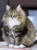 Gato de gato malhado marrom macio do assento fêmea da raça siberian na casa Imagem de Stock Royalty Free