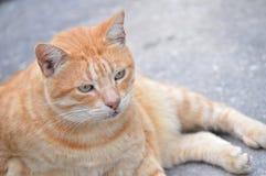 Gato de gato malhado masculino Imagens de Stock Royalty Free