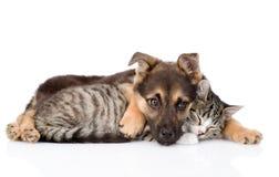 Gato de gato malhado misturado do abraço do cão da raça Isolado no fundo branco Foto de Stock Royalty Free