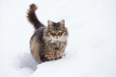 Gato de gato malhado na neve imagem de stock royalty free