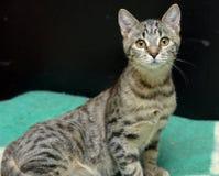 Gato de gato malhado novo Fotos de Stock