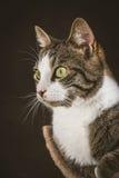 Gato de gato malhado novo bonito com a caixa branca que encontra-se em riscar o cargo contra o fundo escuro da tela Fotos de Stock Royalty Free