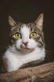 Gato de gato malhado novo bonito com a caixa branca que encontra-se em riscar o cargo contra o fundo escuro da tela Imagem de Stock Royalty Free