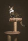 Gato de gato malhado novo bonito com a caixa branca que senta-se em riscar o cargo contra o fundo escuro da tela Imagem de Stock