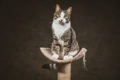 Gato de gato malhado novo bonito com a caixa branca que senta-se em riscar o cargo contra o fundo escuro da tela Fotos de Stock Royalty Free