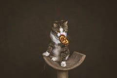 Gato de gato malhado novo brincalhão alerta com a caixa branca que senta-se em riscar o cargo contra o fundo escuro da tela Imagem de Stock