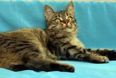 Gato de gato malhado novo considerável fotografia de stock