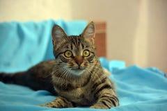 Gato de gato malhado novo considerável fotos de stock