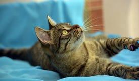 Gato de gato malhado novo considerável foto de stock royalty free