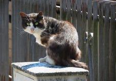 Gato de gato malhado preto e branco Foto de Stock Royalty Free