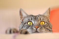 Gato de gato malhado que espreita para o rato Imagens de Stock