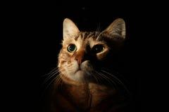Gato de gato malhado que olha acima Fotos de Stock