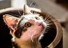 Gato de gato malhado que olha fora do frasco Foto de Stock