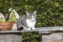 Gato de gato malhado que senta-se em uma tabela Imagem de Stock Royalty Free