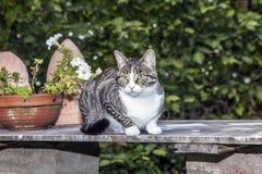 Gato de gato malhado que senta-se em uma tabela Fotos de Stock Royalty Free