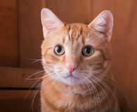 Gato de gato malhado vermelho com um fundo de madeira rústico Imagem de Stock